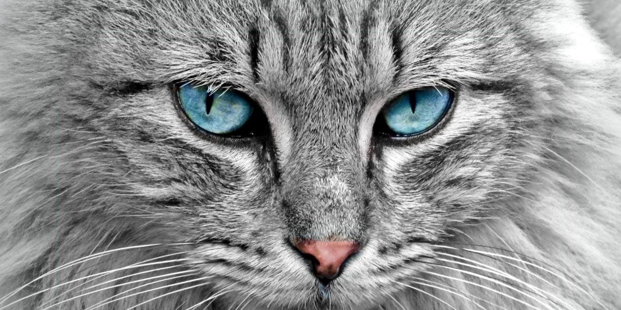 Expoziție internațională de feline pentru iubitori și cunoscători