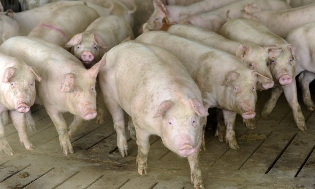 Focar de Pestă Porcină Africană în județul Constanța. Cum se manifestă și cât de periculoasă este pentru om