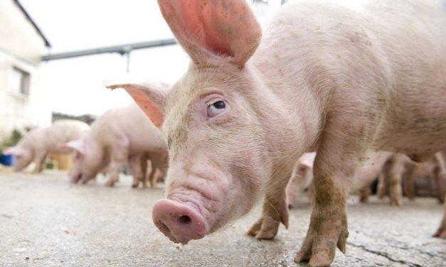 Primăria Cernavodă cere crescătorilor de porci să ia măsuri împotriva pestei