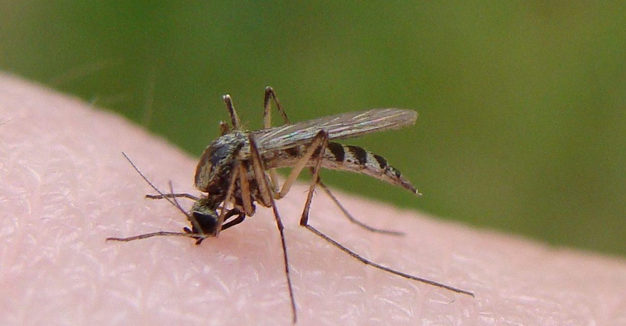 Țânțarii fac prăpăd la Constanța: Cinci cazuri de West Nile și un deces