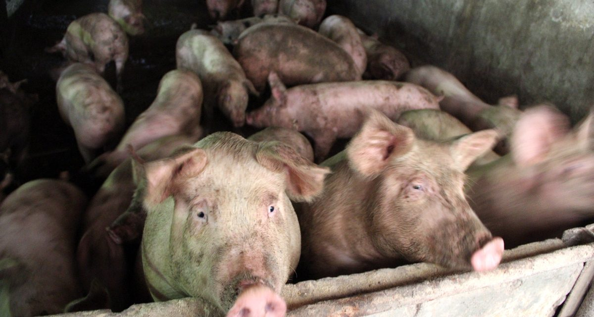 Direcția Sanitară Veterinară: Pesta Porcină, confirmată în 39 de localități din Constanța