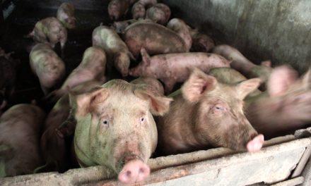 Pesta porcină se extinde la Constanța. Virusul a fost depistat în alte două localități