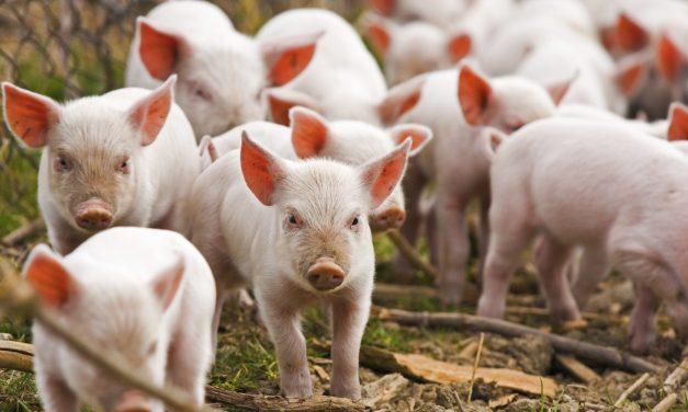 Ce pățești dacă mănânci carne infestată cu pestă africană