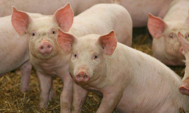 Crescătorii de porci afectați de pestă ar putea fi despăgubiți. Proiectul va ajunge săptămâna următoare la Guvern