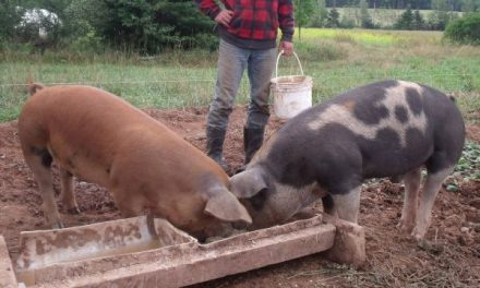 Se deslușește misterul pestei porcine. Guvernul vrea să interzică creșterea porcilor în gospodării