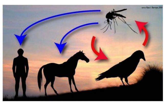 Primăria Cernavodă – anunț cu măsurile privind infecția cu virusul WEST-NILE la animale