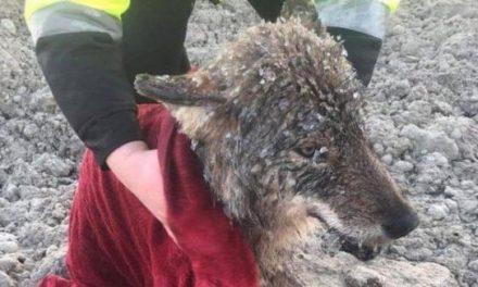 Muncitorii au salvat un lup dintr-un râu înghețat, crezând că este un câine. L-au luat cu ei în mașină, dar nu i-a atacat