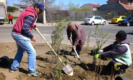 Primăria a plantat arbuști ornamentali în mai multe zone ale Constanței
