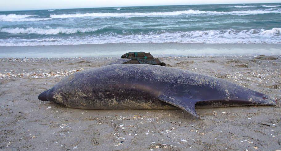 Doi delfini uciși de plasele braconierilor, eșuați pe plajele din 23 August și Corbu