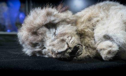 GALERIE FOTO / Descoperire uluitoare în Siberia: doi pui de lei care au trăit acum 44.000 ani, conservați perfect