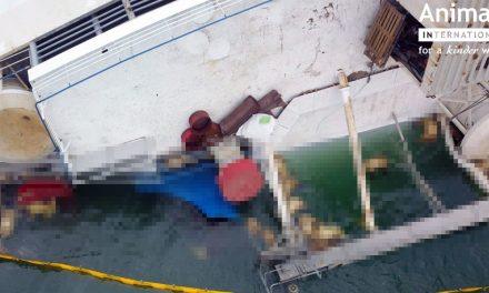 VIDEO. Imagini cutremurătoare după accidentul în care o navă s-a scufundat cu 14.600 de oi la bord