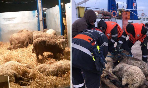 Se caută medici veterinari voluntari pentru operațiunea de salvarea a oilor din Portul Mdia