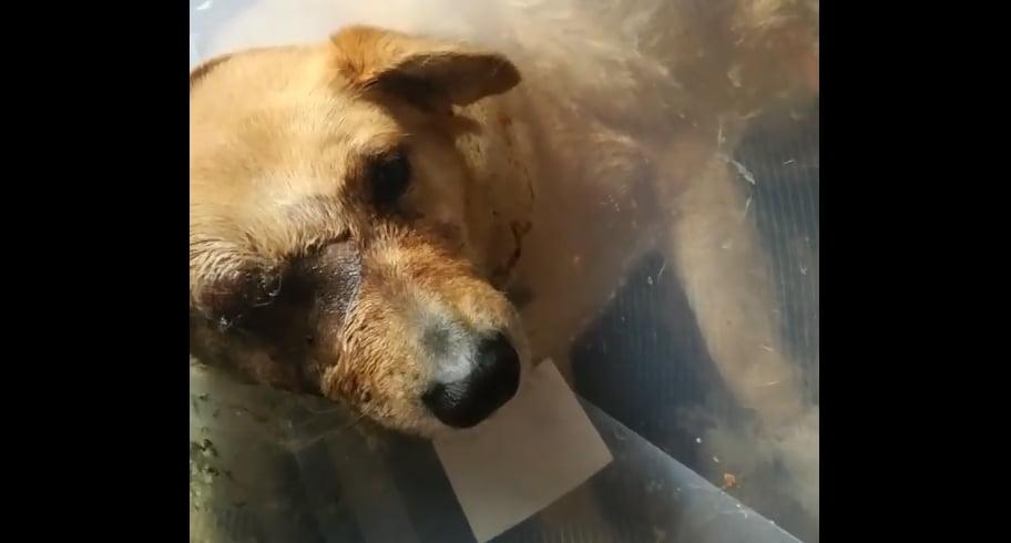 VIDEO. Poliția îi caută pe copiii care au mutilat o căţeluşă cu o petardă. O asociaţie oferă recompensă