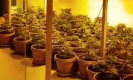 VIDEO. 117 plante şi 11 kilograme de cannabis găsite de poliţişti în casa unui constănţean