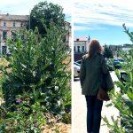 FOTO. Atracțiile Constanței: ciulinii de 2 metri și parcul Primăriei cu boscheții cât casa