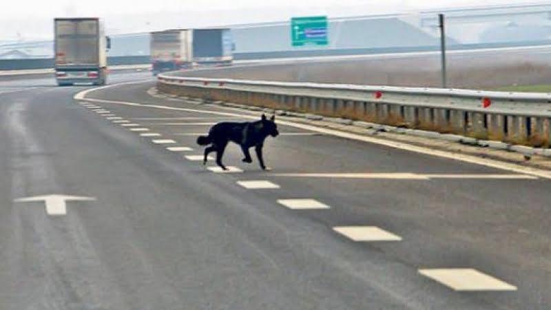 Daune de peste 9.000 de lei pentru un motociclist rănit din cauza unui câine intrat pe autostradă