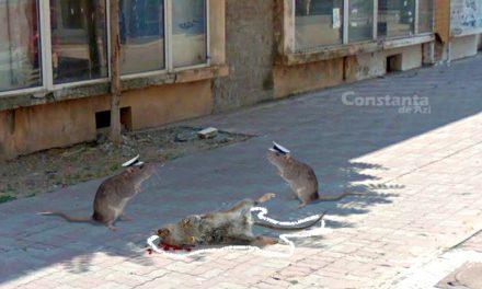 Urmașul șobolanului care a adus ciuma în Europa, găsit mort pe str. Ștefan cel Mare